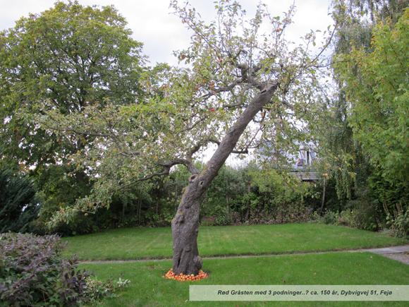 rød gråsten æbletræ