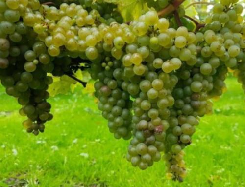 Fejøs landskab og klima er særlig godt til vinavl